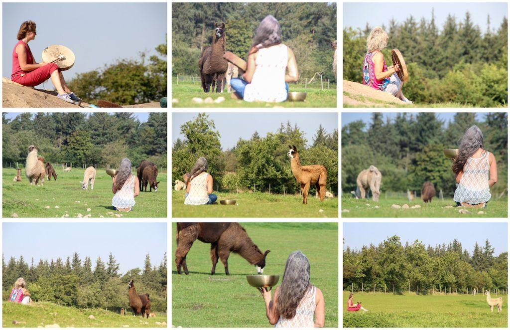 Besuch bei den Friesen Lamas im Norden