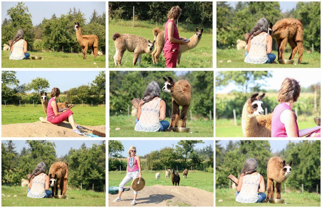 Besuch bei den Friesen Lamas in Braderup